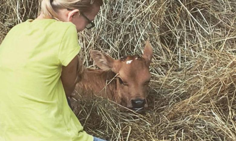 Girl pets calf at Dogwood Hills Guest Farm