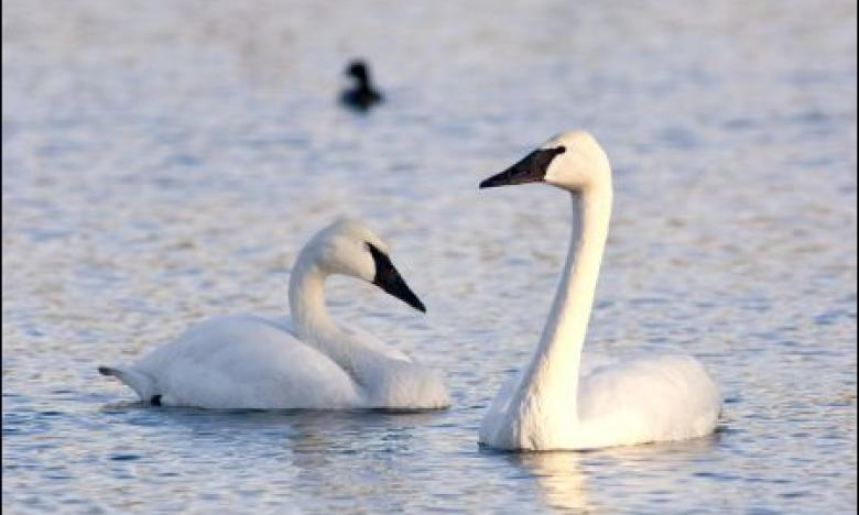 Trumpeter Swans on Heber Springs Lake