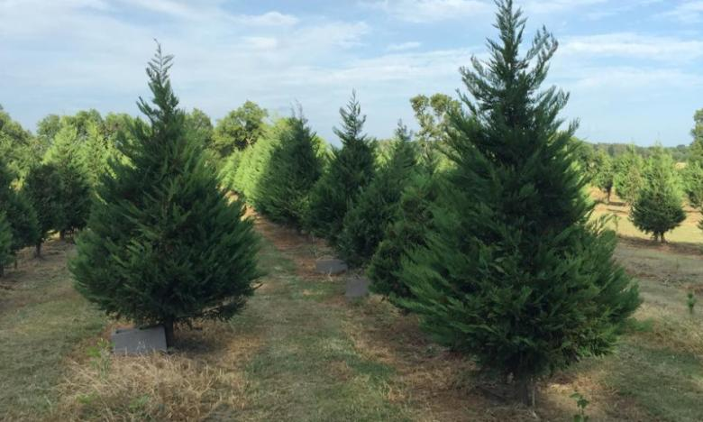 Wonderland Christmas Tree Farm
