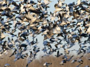 Snow geese in Southeast Arkansas