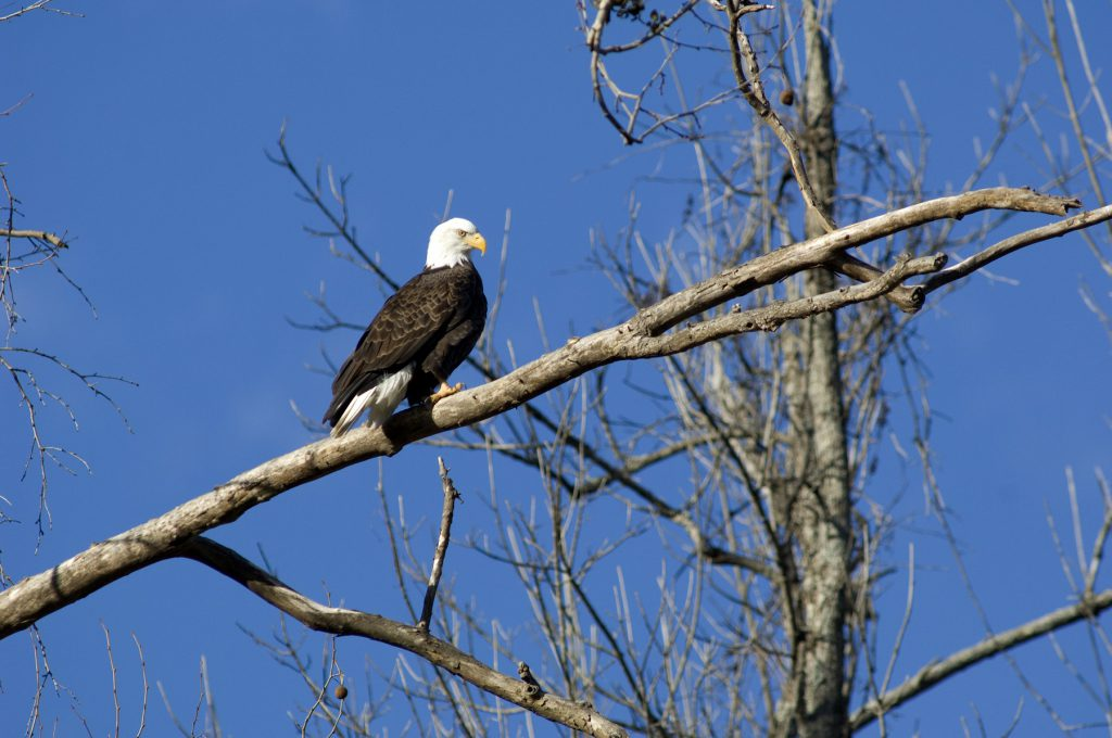 bald_eagle_white_river_lakeview_2229