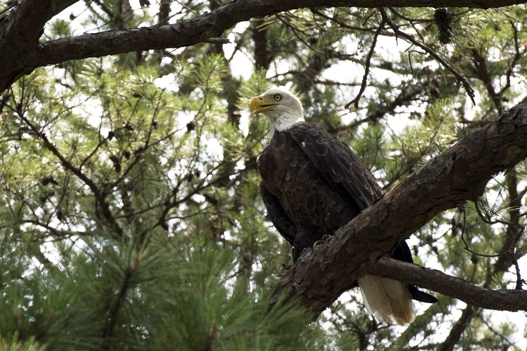 degray_lake_bald_eagle_06222012_5457