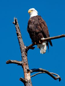 eagle_on_snag_1-blog