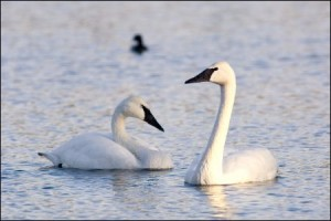 HeberSpringsTrumpeterSwans