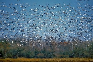 Snow Geese at Holla Bend National Wildlife Refuge
