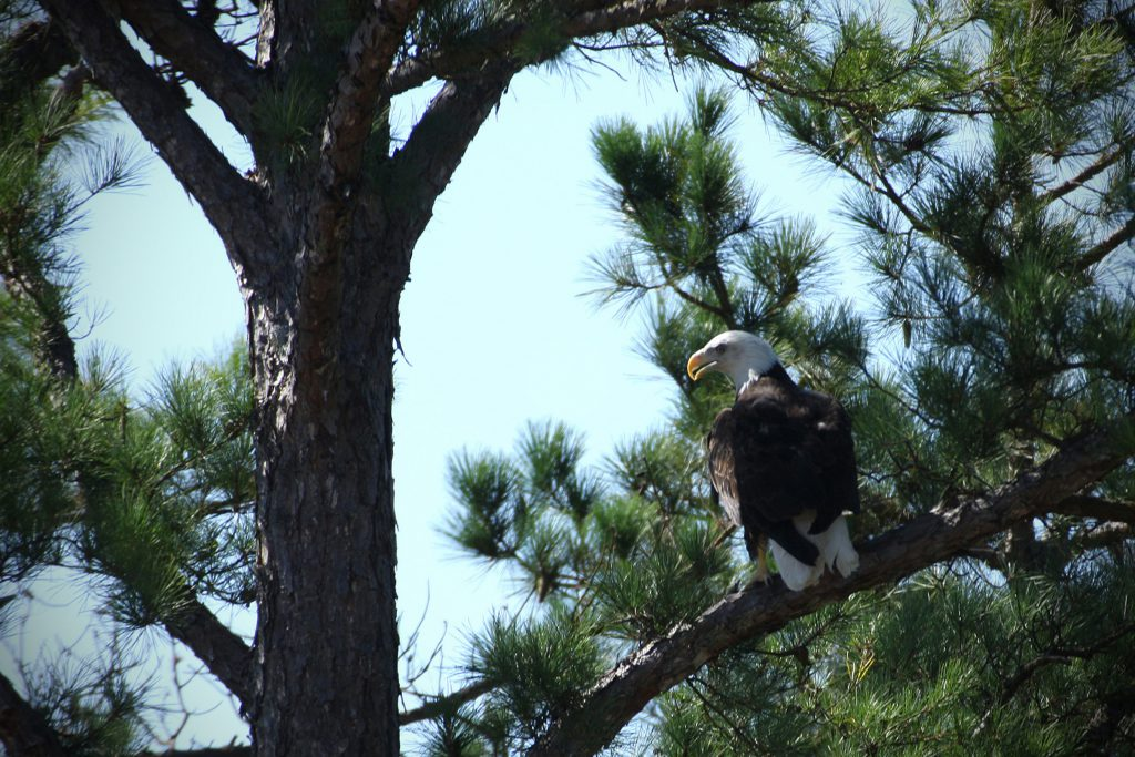 eagle flew 150 ft. and lit in a short-leafed pine for 20 seconds