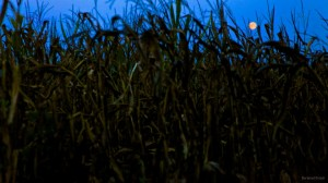 Full Moon in the Corn by Norwood Creech